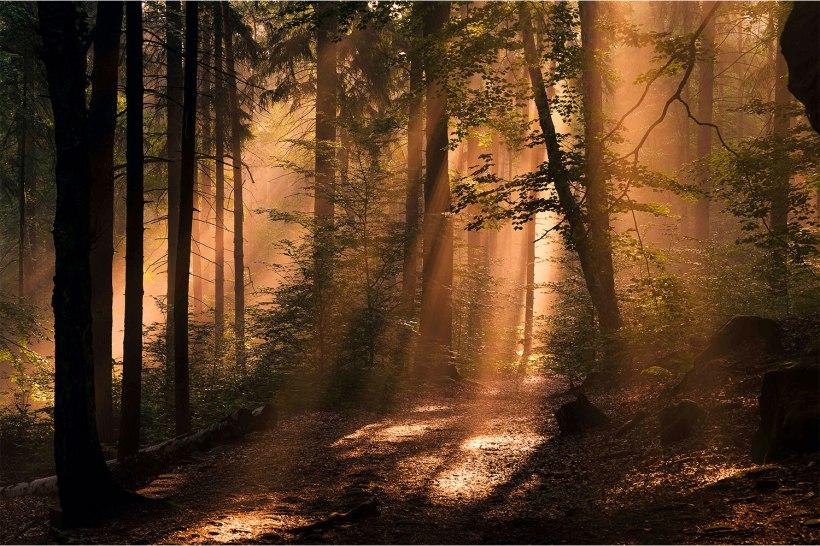 sonnenstrahlen werden durch morgennebel im Wald sichtbar